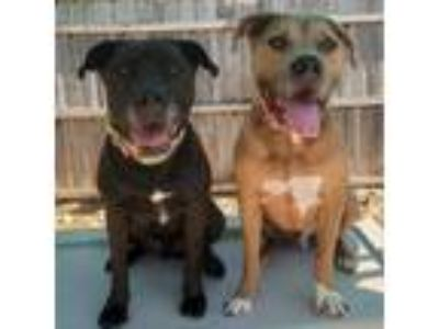 Adopt Rex & Rocko a Brown/Chocolate - with Black Pit Bull Terrier / Pit Bull