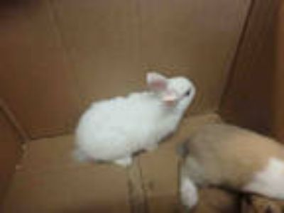 Adopt JAYLA a White Other/Unknown / Mixed rabbit in Chatsworth, CA (25552820)