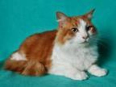 Adopt GABBY a Domestic Medium Hair