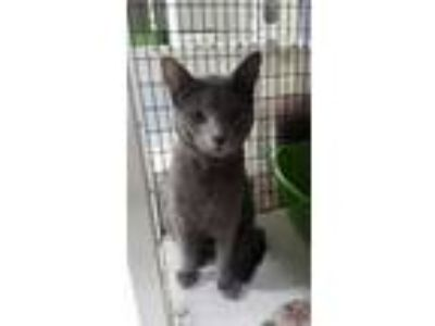 Adopt Ivy 1 a Domestic Short Hair