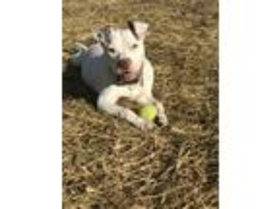 Adopt Philly a White American Pit Bull Terrier / Mixed dog in Vernon Hills