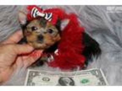 Adoreable! Baby Doll Face Teacup Yorkie