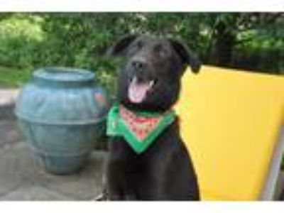 Adopt Penny a Black German Shepherd Dog / Golden Retriever / Mixed dog in