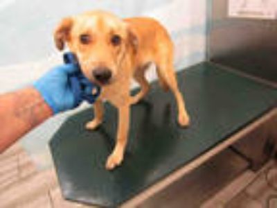 Adopt HAMM a Tan/Yellow/Fawn Labrador Retriever / Mixed dog in Mobile