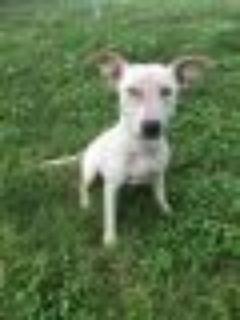 Jean Pit Bull Terrier Dog