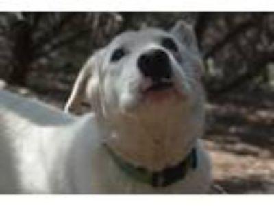 Adopt Junior a Labrador Retriever