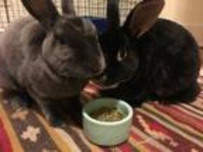 Adopt Thelma and Louise a Mini Rex