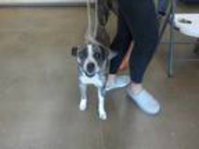 Adopt SPOTTI a Brindle - with White Boxer / Mixed dog in Temple, TX (25300118)