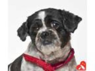 Adopt Kiffer a White Shih Tzu / Mixed dog in Santa Maria, CA (25926422)