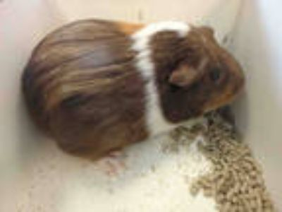 Adopt M.J. a Black Guinea Pig / Mixed small animal in Los Angeles, CA (25568907)