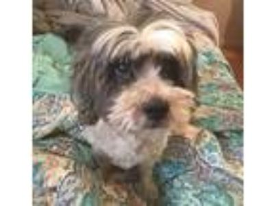 Adopt Spike a White - with Gray or Silver Shih Tzu / Lhasa Apso / Mixed dog in