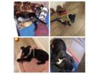 Adopt Ushio a Black - with White Labrador Retriever / Akita / Mixed dog in