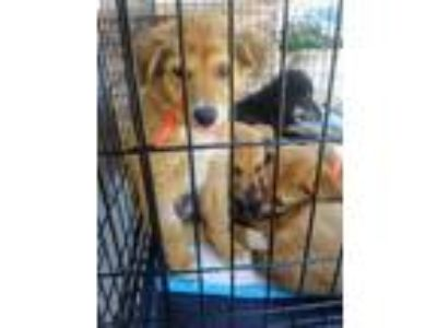 Adopt Duke a Red/Golden/Orange/Chestnut Chow Chow / Shepherd (Unknown Type) /