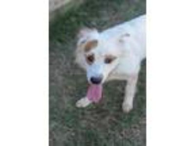 Adopt Hoss a Border Collie