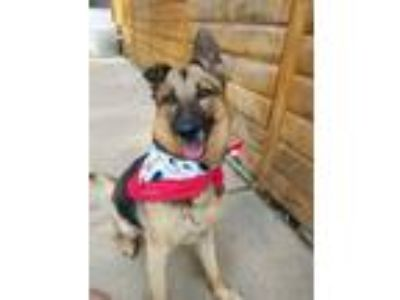 Adopt Brynn a German Shepherd Dog