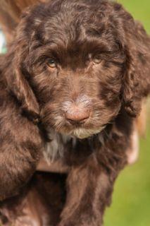 Australian Cobberdog PUPPY FOR SALE ADN-71662 - Charlie