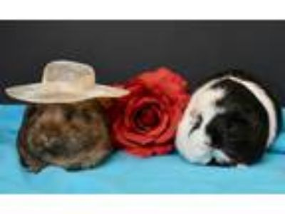 Adopt Laverne and Shirley a Guinea Pig small animal in San Antonio