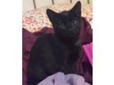 Adopt Cassie a All Black Domestic Shorthair / Domestic Shorthair / Mixed cat in