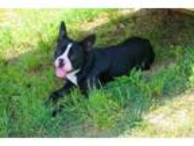Adopt KING JAMES a Boston Terrier, Pit Bull Terrier