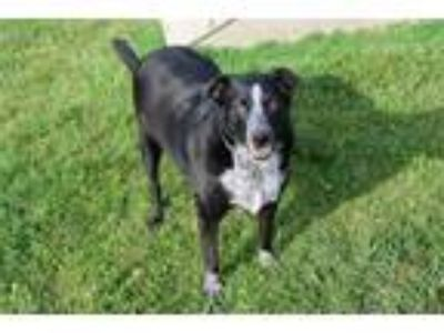 Adopt DITTY a Border Collie, Mixed Breed