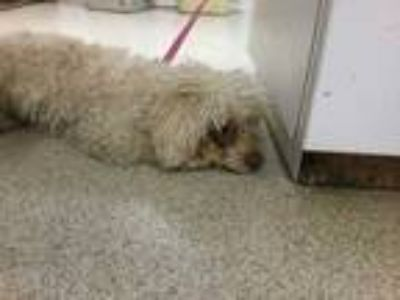 Adopt Dog a White Poodle (Miniature) / Mixed dog in Jurupa Valley, CA (25315808)