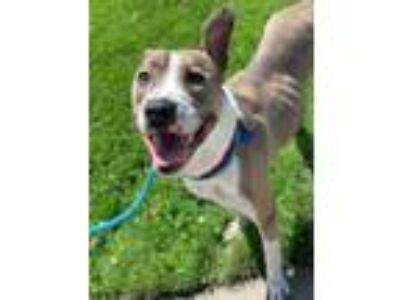 Adopt Avocado a Pit Bull Terrier, Mixed Breed