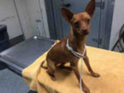 Adopt a Brown/Chocolate - with White Miniature Pinscher / Mixed dog in Long