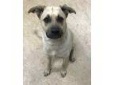 Adopt PEANUT a Tan/Yellow/Fawn - with White Akita / American Pit Bull Terrier /