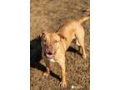 Adopt King a Red/Golden/Orange/Chestnut Mixed Breed (Large) / Mixed dog in