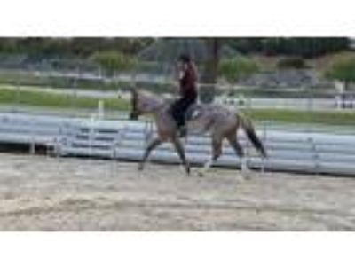 Hunter Jumper Strawberry Roan QH