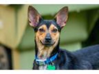Adopt Lulu a Brown/Chocolate - with Black Beagle / Miniature Pinscher / Mixed
