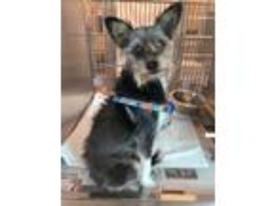 Adopt Scott a Gray/Blue/Silver/Salt & Pepper Schnauzer (Miniature) / Terrier