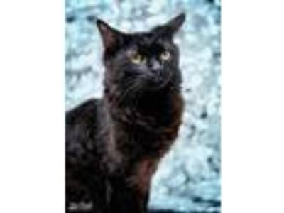 Adopt Roy a All Black Domestic Mediumhair (medium coat) cat in Martinsburg