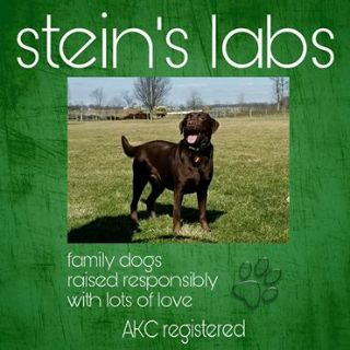 Labrador Retriever PUPPY FOR SALE ADN-76962 - Steins Labs
