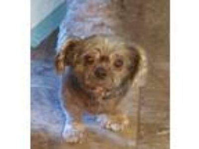 Adopt Theo JS in MS MEDICAL HOLD a Shih Tzu