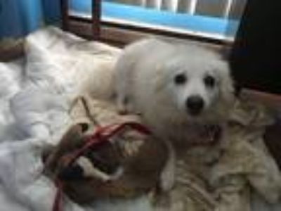 Adopt Missy a White American Eskimo Dog / Mixed dog in Cicero, NY (23876046)