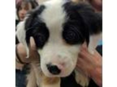 Adopt Garcia a Black Border Collie / Mixed dog in Noblesville, IN (25908007)