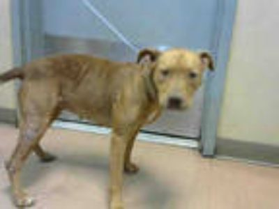 Adopt a Brown/Chocolate American Pit Bull Terrier / Mixed dog in San Jose