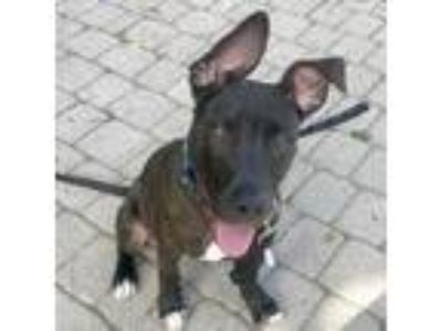 Adopt Denver a Brindle American Pit Bull Terrier / Mixed dog in Washington