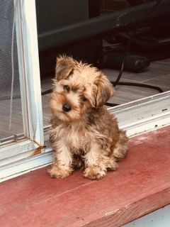 Yorkshire Terrier PUPPY FOR SALE ADN-95852 - CKC Pure Breed Yorkies     North Alabama