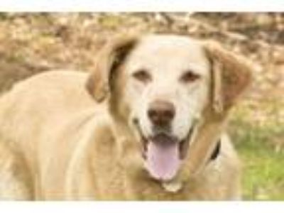 Adopt Goldie a Labrador Retriever