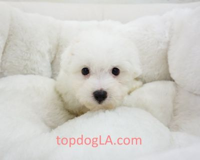 Maltipoo Puppy - Male – Justin ($1,299)