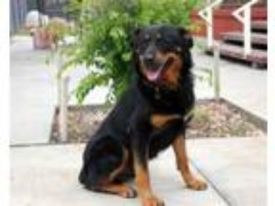 Adopt Rumble a Rottweiler, German Shepherd Dog
