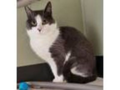 Adopt Pegasus a Domestic Short Hair