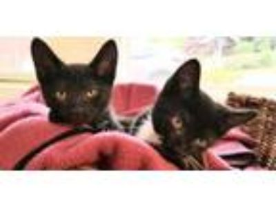 Adopt Melania and Chelsey a Tuxedo, Domestic Short Hair