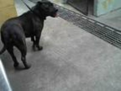Adopt SABLE a Black - with White American Pit Bull Terrier / Mixed dog in