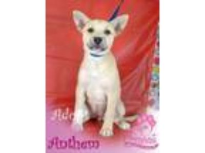 Adopt Anthem a Husky, German Shepherd Dog