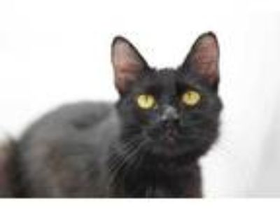Adopt Indigo ($5 Adoption Fee) a All Black Domestic Shorthair / Domestic