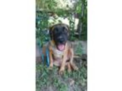 Adopt Lilly a Tan/Yellow/Fawn - with Black Shepherd (Unknown Type) / Labrador