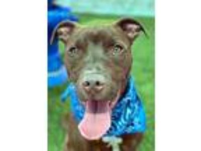 Adopt Colby a Red/Golden/Orange/Chestnut American Pit Bull Terrier / Mixed dog
